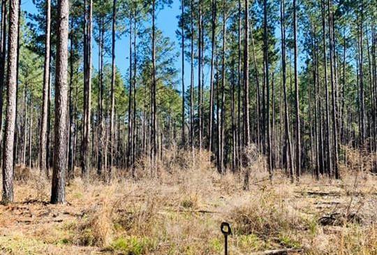 Tooholley Farm Pine Plantation