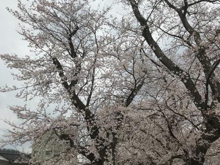 足羽川堤防の桜です