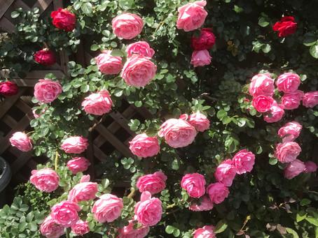 福井市足羽山近くの麩市さんの薔薇園に行って来ました