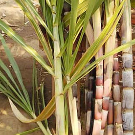 Sugarcane6.jpg