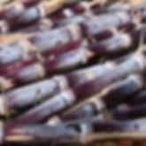 Sugarcane4.jpg