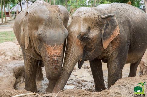 Samui_Elephant_Sanctuary_47.jpg