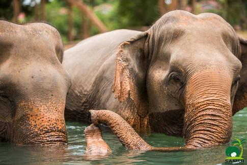Samui_Elephant_Sanctuary_54.jpg
