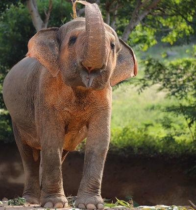 Elephant_MaeKhamKaew2.jpg