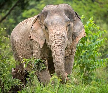rescued elephant Mae Kham Pang Samui elephant sanctuary