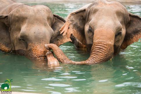 Samui_Elephant_Sanctuary_53.jpg