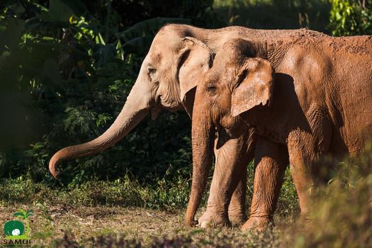 herd of rescued elephants samui elephant sanctuary thailand