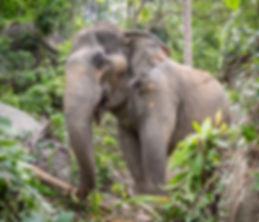 Elephant_Kham_Paeng.jpg