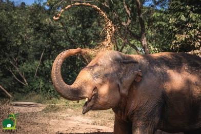 elephant taking a mud bath samui elephant sanctuary thailand