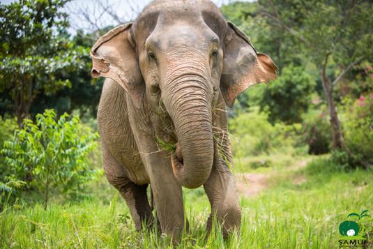 elephant forages on grass koh samui