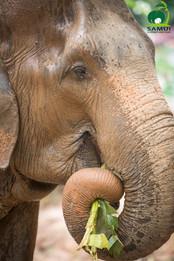 beautiful thai elephant koh samui