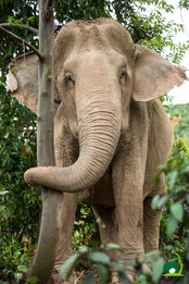 rescued elephant samui elephant sanctuary thailand