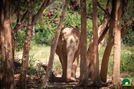 elephant rescued by samui elephant sanctuary thailand