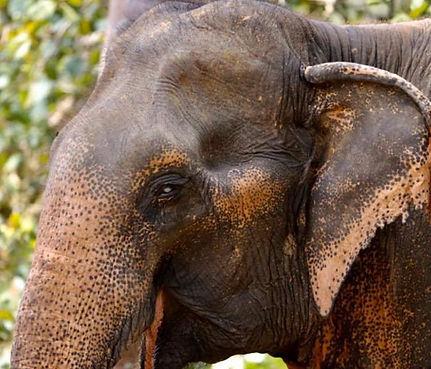 Elephant_Kham_Sing2.jpg