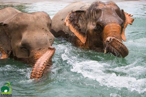 Samui_Elephant_Sanctuary_58.jpg