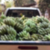 Pickup_Truck_Bananas_1.jpg