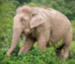 rescued thai elephant elephant sanctuary thailand