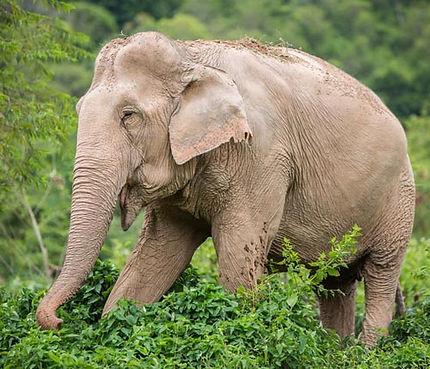 rescued thai elephant elephant sanctuary thailand