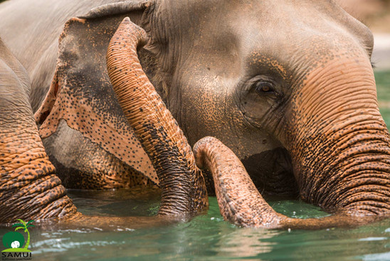 Samui_Elephant_Sanctuary_55.jpg