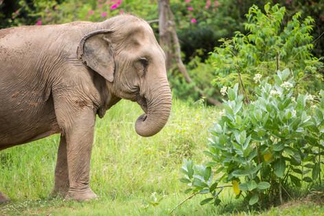 elephant foraging thailand sanctuary