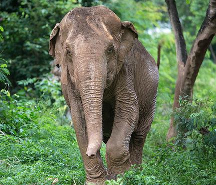 Elephant_LamYai.jpg