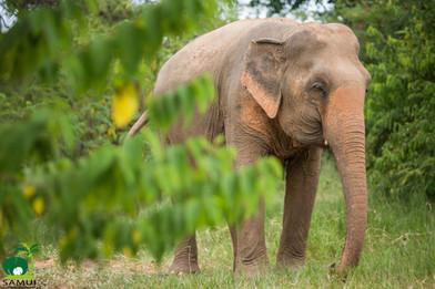 Samui_Elephant_Sanctuary_39.jpg