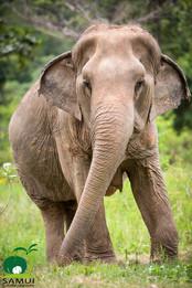 elephant tour koh samui thailand