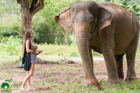 observing elephant samui elephant sanctuary