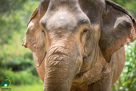 elephant rescued from elephant riding elephant sanctuary thailand