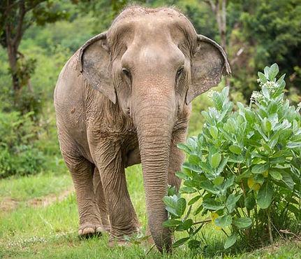 rescued elephant Khum Phean at samui elephant sanctuary