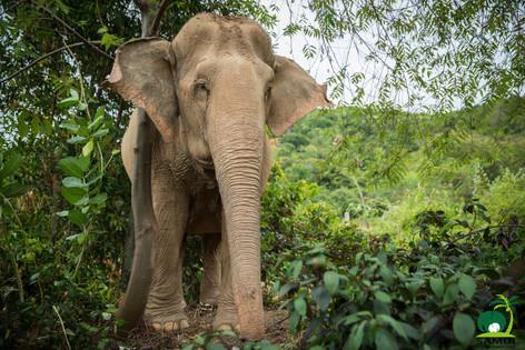 beautiful female elephant samui elephant sanctuary thailand