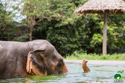 elephant bathing samui elephant sanctuary thailand