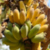 Bananas_5.jpg
