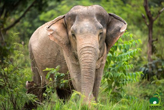 elephant foraging samui elephant sanctuary thailand