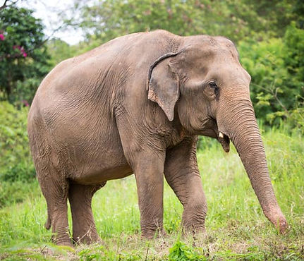 rescued elephant Kaew Ta at samui elephant sanctuary
