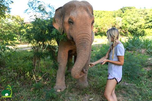 feeding elephant at samui elephant sanctuary thailand