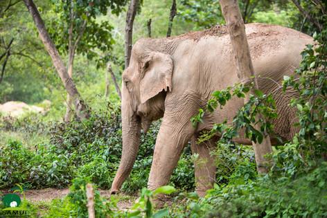 elephant roaming samui elephant sanctuary thailand