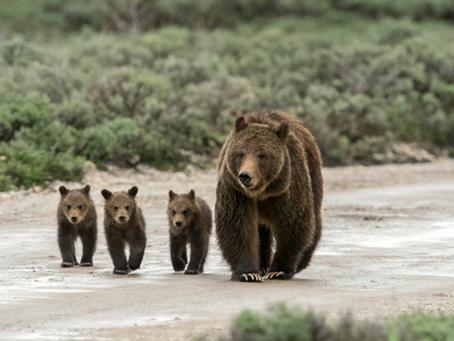 Look, Bears Walking.