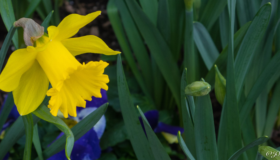 Yellow Jonquil with blue pansies.jpg