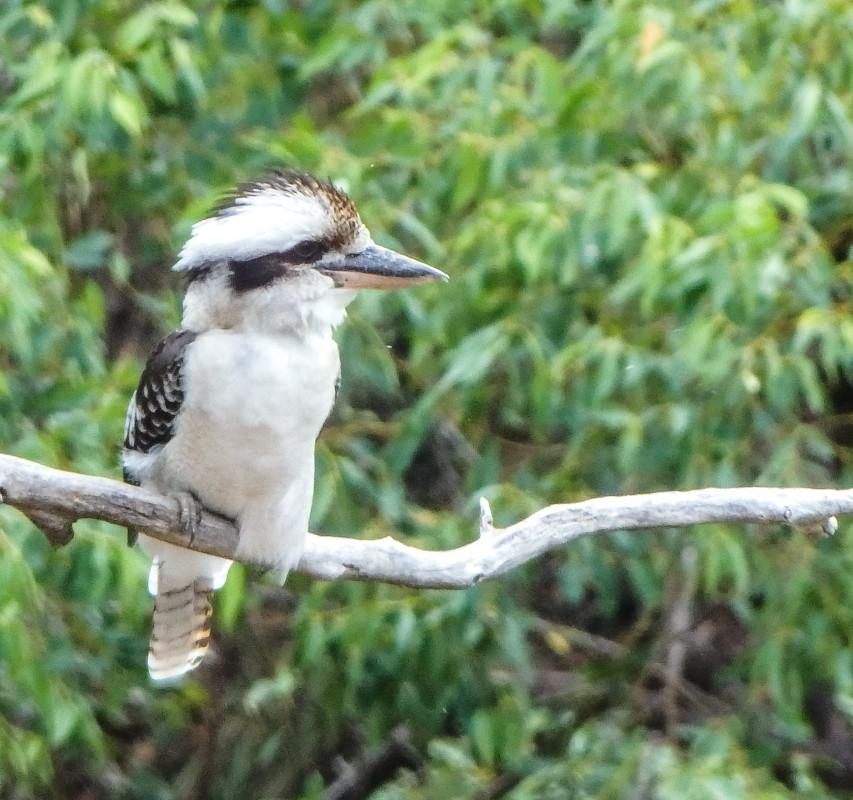 Kookaburra in the Springwood Conservation Park