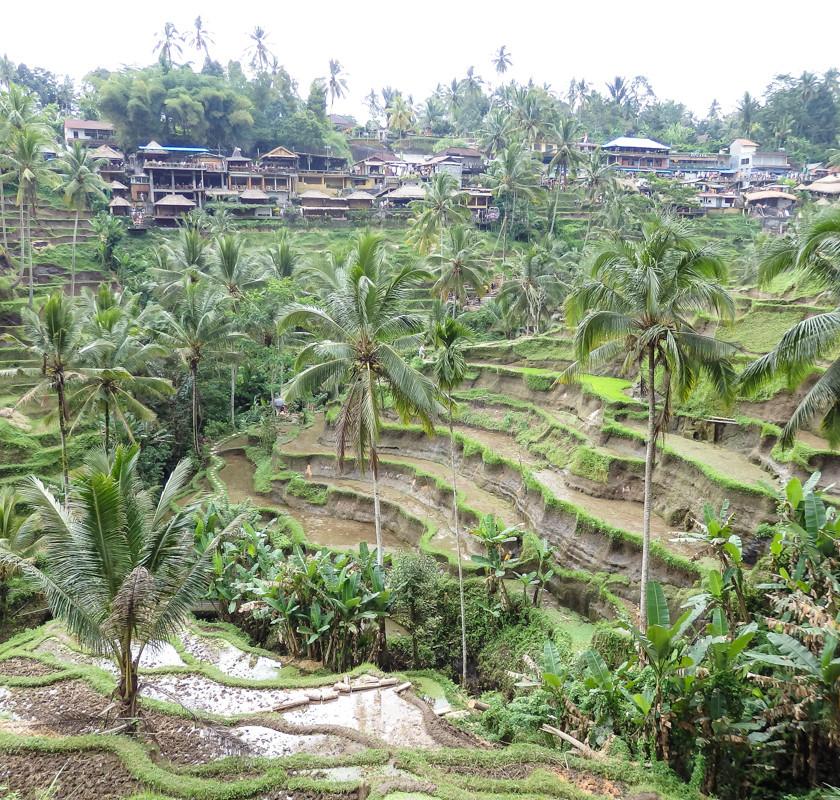 Rice terraces in Ubud Bali
