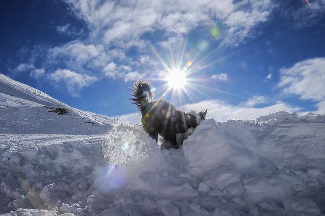 chien de recherche en avalanche en formation