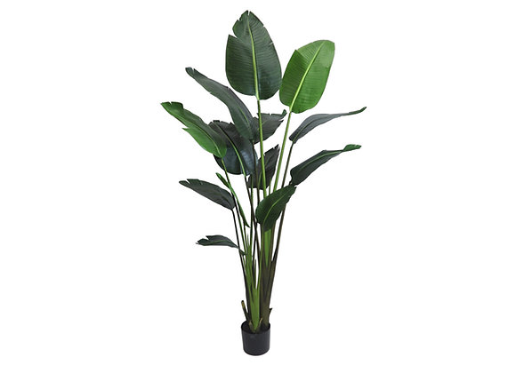 Traveller Palm Deluxe (6ft)