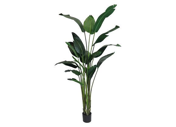 Traveller Palm Deluxe (8ft)