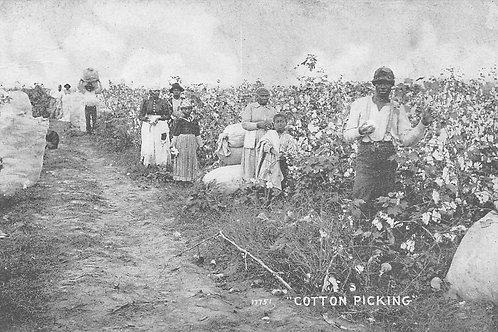 Cotton picking b/w card 1909