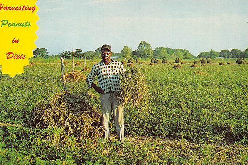 Man in peanut field harvesting in Dixie