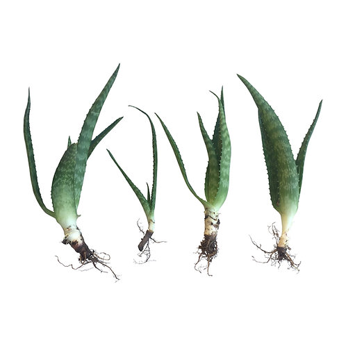 Zebra Aloe Vera Baby Plants (4)