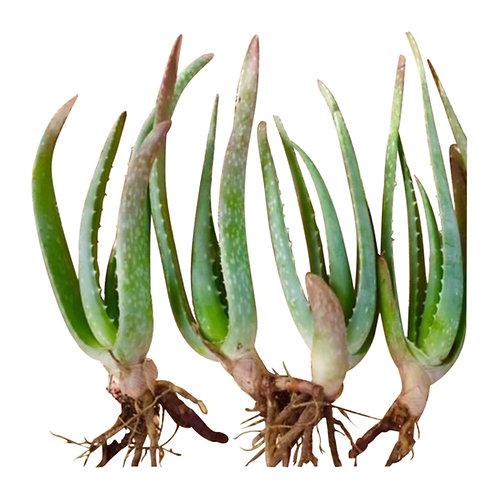 Aloe Vera Baby Plants (4)