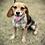 Thumbnail: Lemons the Miniature Beagle