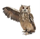 Owl.tif